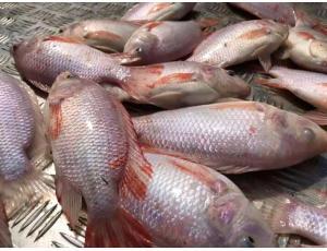 Mencari pembeli ikan talapia merah